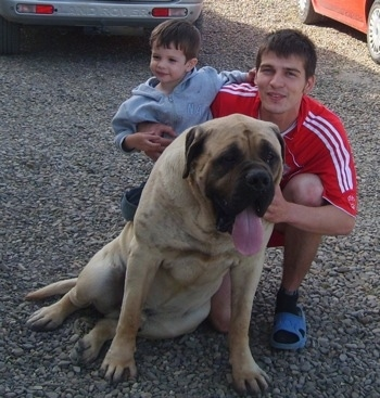 A large droopy-looking tan with black English Mastiff is sitting in gravel and there is a person in a red shirt holding a child in a gray shirt kneeling behind it. The Mastiffs mouth is open and tongue is out. There is a gray Land Rover and a red car parked behind them.