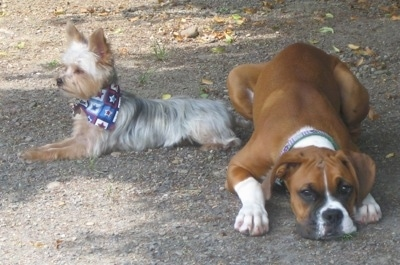 A brown with white and black Boxer and a Yorkie, wearing a blue bandana, are laying next to each other on the ground outside.
