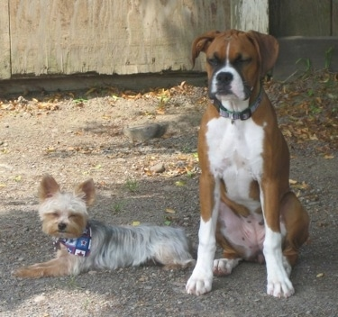 A Yorkie laying down next to a sitting Boxer outside