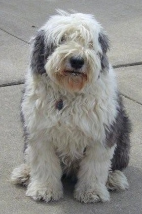 Front view - A shaggy grey with white Old English Sheepdog is sitting on a concrete surface and it is looking forward with its head tilted to the left.
