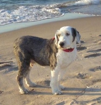 A shaved grey with white Old English Sheepdog is wearing a red collar standing on a sandy beach with the ocean behind it looking to the left.