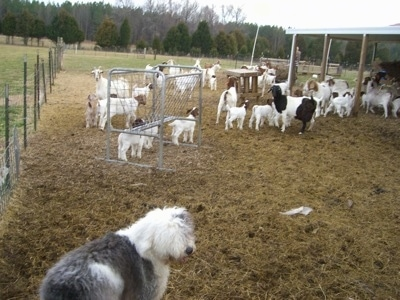 A shaggy grey with white Old English Sheepdog is standing outside in a field with a herd of goats.