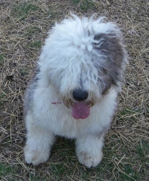 Selina the Old English Sheepdog at 9 months old.