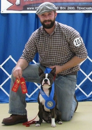 A perk-eared,  black with white Olde Boston Bulldogge is sitting in front of a person kneeling behind it. The dog has on a blue ribbon and the person behind it is holding two red ribbons at a dog show.