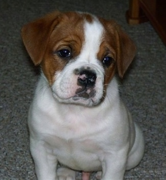 Front view - A white with red Olde English Bulldogge puppy is sitting on a carpet and it is looking forward. Its head is slightly tilted to the right.