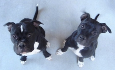 Dolce and Rosie are 50% American Bluenose Pitbull Terrier mixed with 50% Olde English Bulldogge.