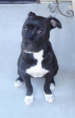 Front view - A black with white Olde Pit Bulldogge is sitting on a carpet with its head turned to the left but its eyes are looking forward.