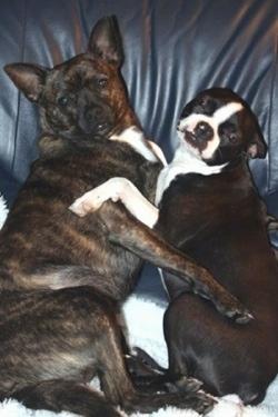 Boston Terrier Hybrids