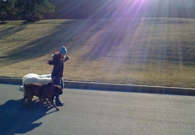 Fifteen year old Amie pack walking her 4 dogs.
