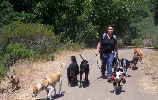 A lady in a black shirt is walking a pack of nine dogs down a path