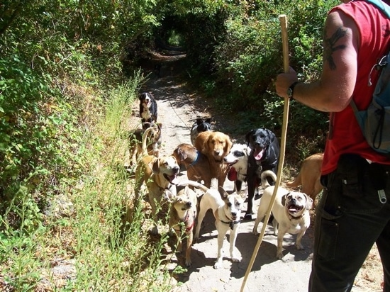 A man in a red shirt is holding a long stick. There is a pack of twelve dogs in front of the man on a path through the trees