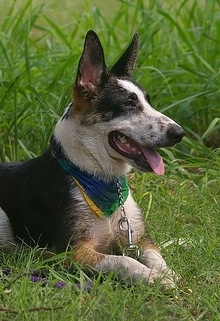 The upper half of a black, white and tan Panda Shepherd dog that is laying in grass looking to the right. It is wearing a colorful blue, yellow and green bandana. Its mouth is open and tongue is out.