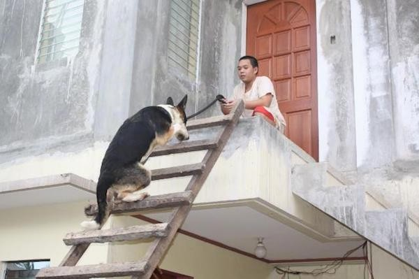A black with white and tan Panda Shepherd is climbing up a wooden ladder to a porch where a person is kneeling in front of a brown wooden door while holding the leash.