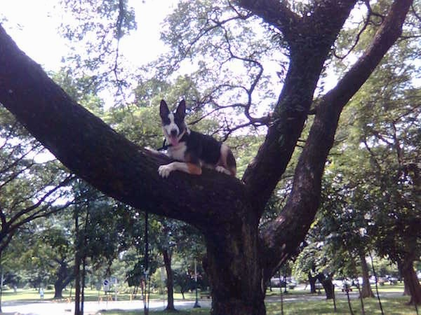 Hitman the Panda Shepherd at 9 months old during our adventure in the field of University of the Philippines.