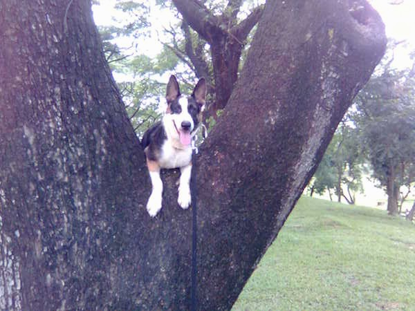 Front view - A panting, black with white and tan Panda Shepherd dog is laying up high in a tree in the V where the branches split with its front paws hanging over the edge.