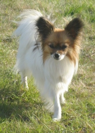 Front view - A perk-eared, white with red Papillon is standing in grass looking straight ahead. Its tail is curled up over its back.