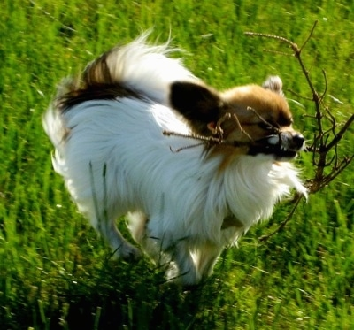 Side view action shot - A white with tan Papillon is running across grass with a stick in its mouth.