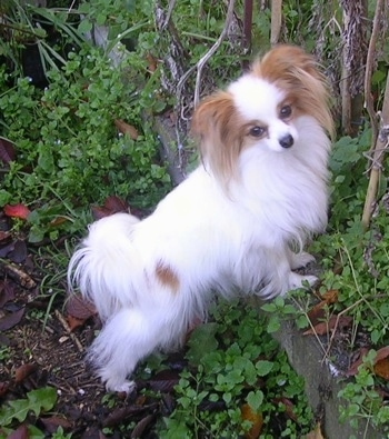 Side view - A white with red Papillon is standing up against a small brick wall dividing a garden looking at the camera.