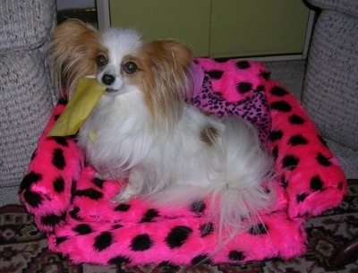 Side view - A white with red Papillon dog is sitting in a hot pink with black chair looking to the left. It has a yellow piece of cloth in its mouth.