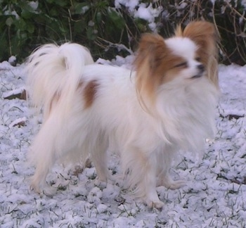 Right Profile - A white with red Papillon is standing in snow looking up and to the right. Its eyes are closed.