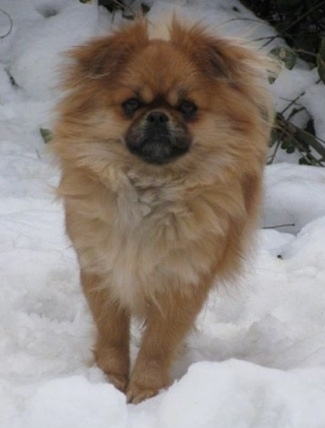 Ellie the peek-a-pom or 'pominese'—her mother was a purebred