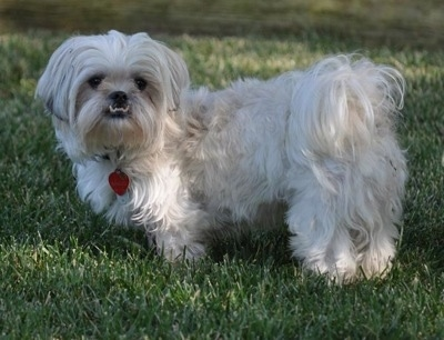 Side view - A long haired, white with grey Peke-A-Tese dog is standing outside in grass looking forward. The bottom row of its teeth are exposed do to a large underbite. Its tail has long hair on it and curls up over its back.