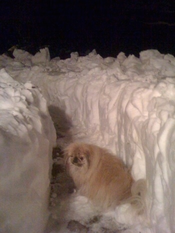 A longhaired tan Pekingese is standing in a freshly plowed pathway of deep snow at night.