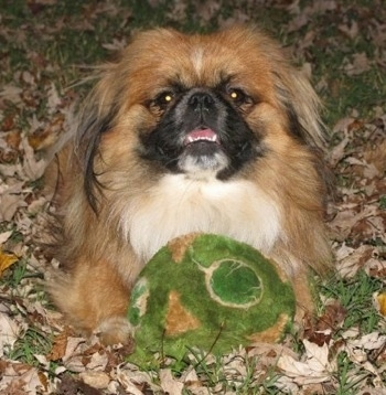 Front view - A longhaired, tan with white and black Pekingese dog is laying in grass and brown fallen leaves with a green plush toy in between its front paws. Its mouth is open and it is looking forward.