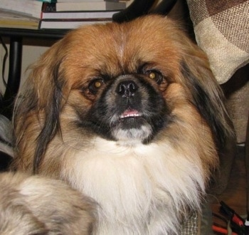 Front view - A longhaired, tan with white and black Pekingese dog is sitting in front of a couch looking forward. Its mouth is open and its bottom white teeth are showing.