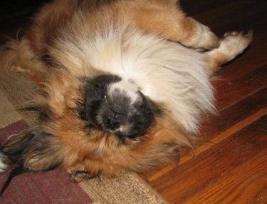 A longhaired, tan with white and black Pekingese is sleeping on its back belly up on a rug. Its eyes are closed.