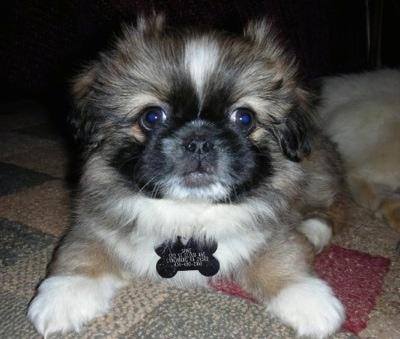 Close up front view - A tan with black and white Pekingese puppy is laying on a tan, green and maroon rug and looking forward. It has a big black bone shaped ID dog tag hanging from its collar
