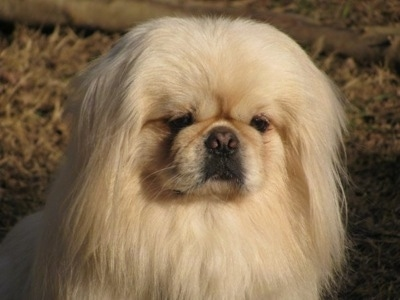 Close up head and upper body shot - A longhaired, white Pekingese is sitting in brown grass and it is looking forward.