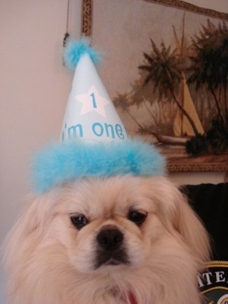 Head shot - A longhaired, white Pekingese dog is sitting in a room wearing a teal blue and white birthday hat and on the hat the words - 1 I'm one - are on it.