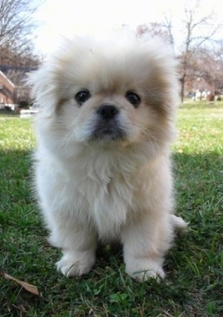 A fluffy, white Pekingese puppy is sitting in grass looking forward. It has round black eyes.