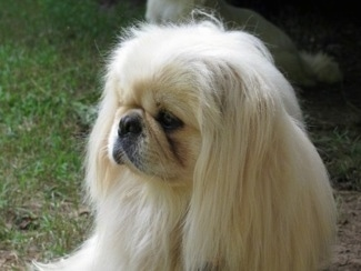 Side view - A longhaired, white Pekingese is laying in dirt next to grass looking to the left.