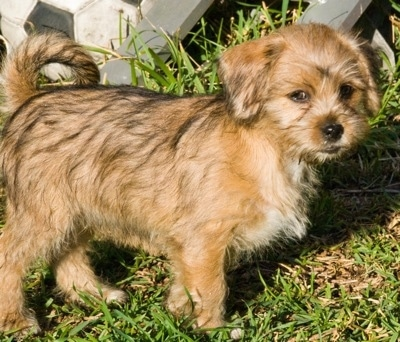 Information and Pictures, Miniature Pinscher / Shih Tzu Hybrid Dogs