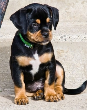 Front view - A black and tan with white Pin-Tzu puppy is wearing a green collar sitting on a sidewalk looking down and to the right.