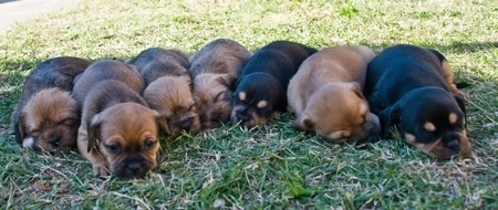 A litter of 7 Pin-Tzu puppies lined up in a row laying down in grass. Five of the pups are tan with black and two are black with a small amount of tan.