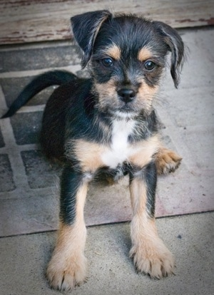 A wire-haired black with tan and white Pin-Tzu puppy is sitting on a door mat on a porch looking up towards the camera.