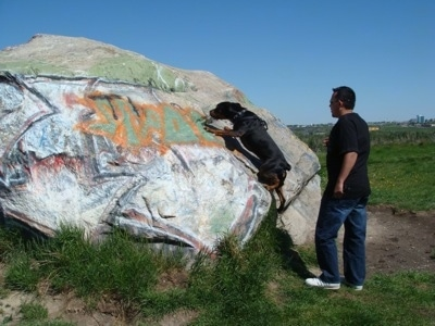 A black and tan with white Pitweiler is climbing up a large boulder-sized rock that has graffiti all over it. There is a man in a black shirt, blue jeans and white sneakers watching from behind.