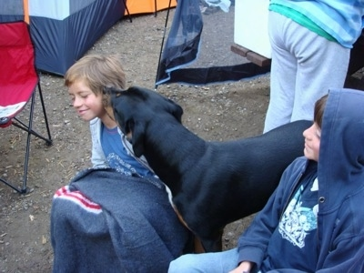 A black and tan with white Pitweler is standing in dirt surrounded by people, tents and fold out chairs. It is licking the face of a boy sitting next to it.