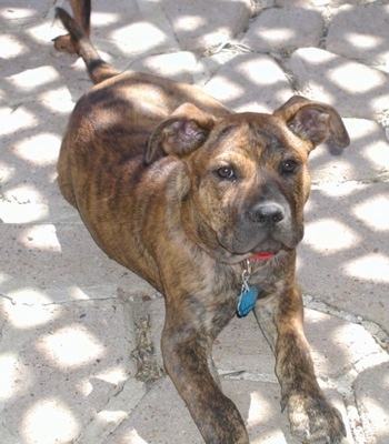Front view - A brown brindle Pitweiler dog is laying on a stone porch looking up.