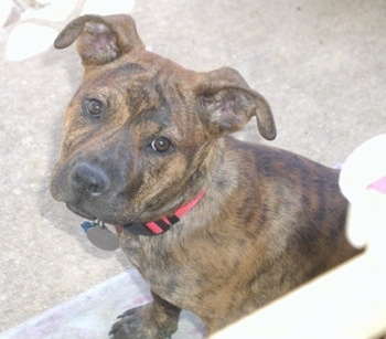 Head and upper body shot - A brown brindle Pitweiler dog is sitting on a porch in front of a person looking up at them.