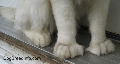 Close Up - Kung Fu Kitty the Polydactyl cat's huge, front paws in the doorway