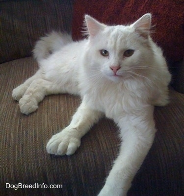 Kung Fu Kitty the white Polydactyl cat is laying on a brown couch and looking at the camera
