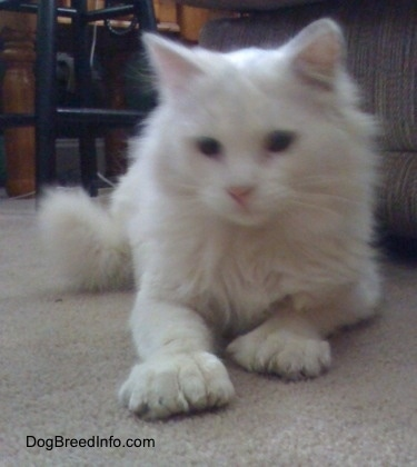 Kung Fu Kitty the white Polydactyl cat is laying on a tan carpeted floor in front of a stool and a couch