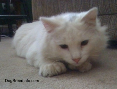 Kung Fu Kitty the white Polydactyl cat is laying down in front of a couch and looking at the floor