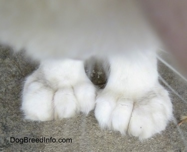 Close Up - Kung Fu Kitty the Polydactyl cat's huge, front paws and the bottom of his chest