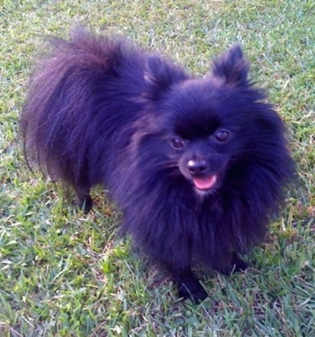 Front view - A furry black Pomeranian is standing across grass and it is looking to the left. Its mouth is open and tongue is sticking out.