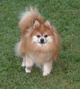 A tan with white Pomeranian is standing in a grass yard
